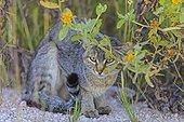 Chat sauvage africain à la saison des pluies Etosha Namibie