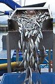Mackerels Port of Santoña Bay of Biscay Spain