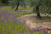 Olivier et Vipérines PN Sierra de Andújar Andalousie Espagne