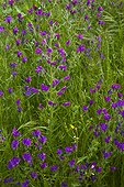 Vipérines en fleurs PN Sierra de Andújar Andalousie Espagne