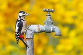 Great Spotted Woodpecker perched on a water tap GB
