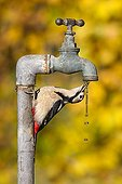 Great Spotted Woodpecker drinking water from a tap GB