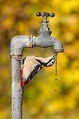 Pic épeiche buvant à un robinet à eau GB