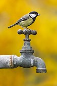Great tit perched on a water tap GB