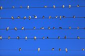 House Martins son of Electric wire Kamanjab Namibia