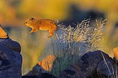 Young Rock hyrax jumping on rock South Namibia