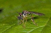 Robberfly with prey Denmark in June