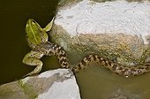 Viperine Water Snake eating a Perez's frog France