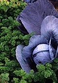 Red cabbage and curled parsley in a kitchen garden