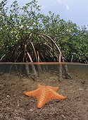 Cushion Sea Star in Red Mangrove Bahamas