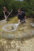 Biologiste capturant un Requin citron en mangrove Bahamas ; Tristan Guttridge biologiste marin de la Station biologique de terrain de Bimini, capturant un jeune Requin Citron pour le mesurer