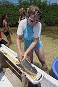 Biologiste mesurant un Requin citron en mangrove Bahamas ; biologiste marin de la Station biologique de terrain de Bimini,