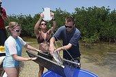 Biologiste mesurant un Requin citron en mangrove Bahamas ; Tristan Guttridge biologiste marin de la Station biologique de terrain de Bimini,