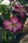 Desert Rose ; ADENIUM OBESUM