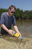 Biologiste scannant un Requin citron en mangrove Bahamas ; Tristan Guttridge biologiste marin de la station biologique de terrain de Bimini, utilisant un lecteur PIT pour scanner un jeune Requin citron capturé dans les mangroves.