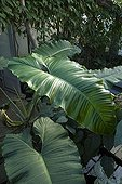 Philodendron ; PHILODENDRON DEFLEXUM