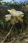 Méduse Cassiopée fine dans la mangrove Bahamas
