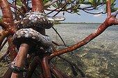 Boa arc-en-ciel de Bimini et Palétuvier rouge Bahamas