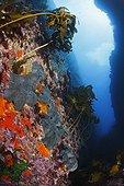 Black Pillow Sponges and kelp line a fissure New Zealand