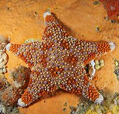Firebrick Sea Star on reef New Zealand
