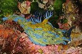 Verco's Nudibranch on reef New Zealand