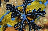 Gills of Verco's Nudibranch on reef New Zealand