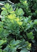 Celery in a kitchen garden