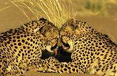 Guépards se toilettant face à face Namibie