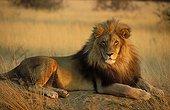 Male lion resting Namibia Okonjima Lodge ; AfriCat Foundation