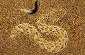 Sidewinder snake  on sand Namib Desert Namibie
