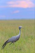 Grue de paradis dans les hautes herbes Etosha Namibie