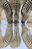 Burchell's Zebras drinking after rain Etosha Namibia
