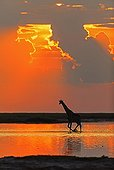 Giraffe at sunset in water Etosha pan Namibia