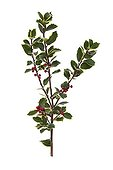 Variagated holly in studio