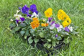 Plantation of pansies in a garden