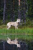 Gray Wolf beside water Finland