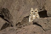 Pharaoh Eagle-owlon rocks Morocco Sahara