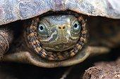 Portrait of Mediterranean Turtle Morocco
