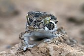 Portrait of Common Wall Gecko on rock Sahara Morocco