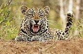 Male leopard snarlingTimbavati South Africa