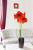 amaryllis in bloom in a living room