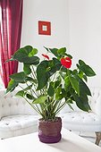 Anthurium in bloom in a living room