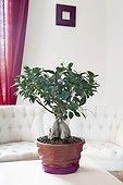 Ficus bonsai in a living room