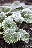 Strawberry with frost in a garden in winter