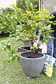 Transplantation of an ornamental lemon tree in a garden