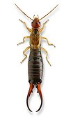 Common Earwig male on white background
