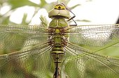 Emperor Dragonfly immature male France