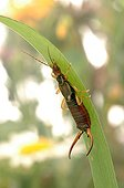 Male common earwig on a leaf France