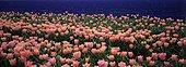 Tulip field in bloom