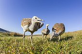 Great Bustards looking for food in a meadow in autumn GB